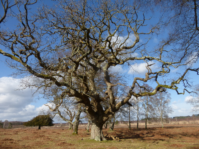 oak tree   new forest feb2015
