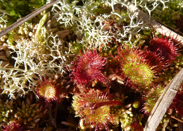 Sundew and lichen